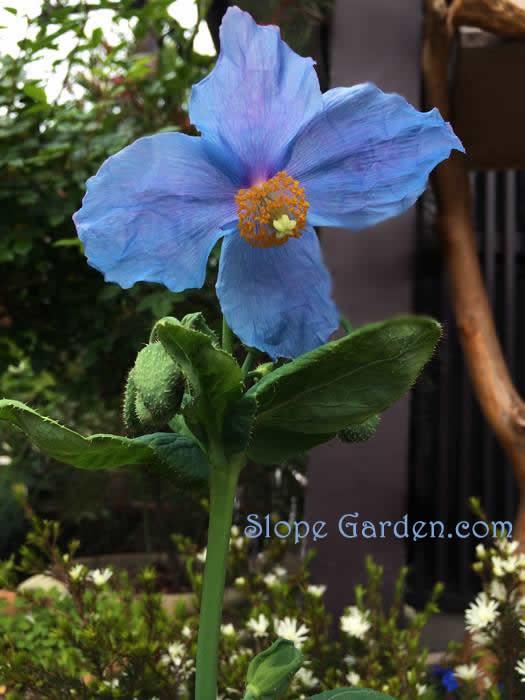 blue.poppy_2