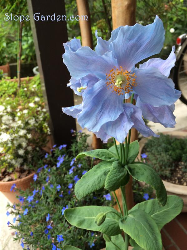 blue.poppy_4