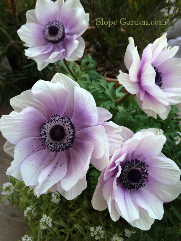 sg_anemone1