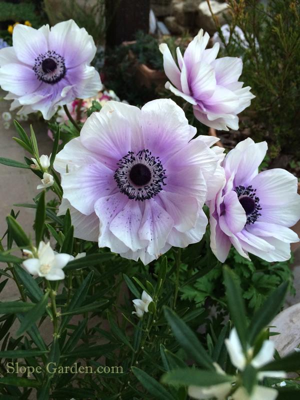 sg_anemone2