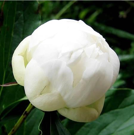sg_pioni.white