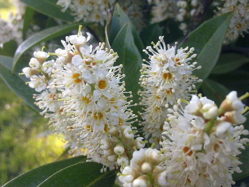 sg_Prunuslaurocerasus