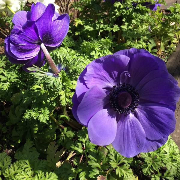 sg_anemone_purpl2