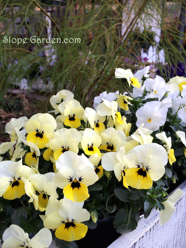 sg_pansy_yellow