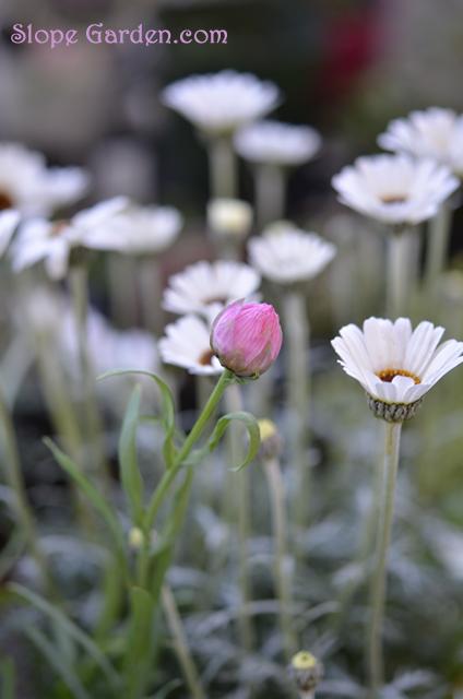 sg_strawflower2015march_1