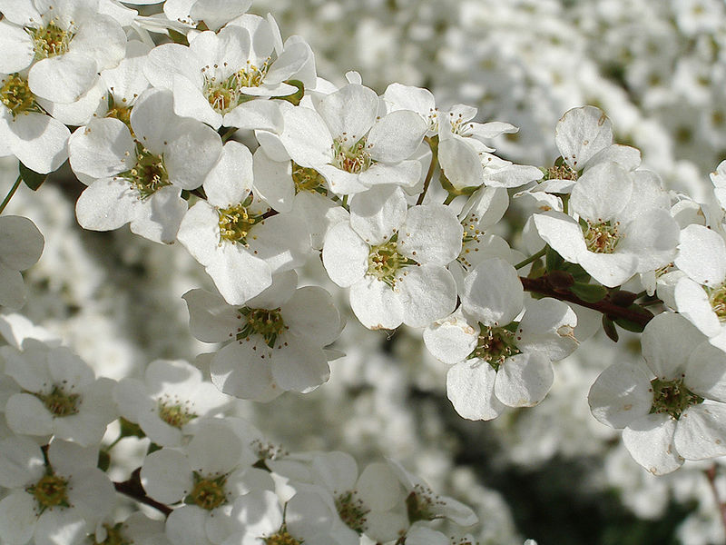 http://upload.wikimedia.org/wikipedia/commons/3/30/Spiraea_thunbergii2.jpg