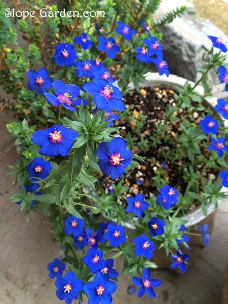 sg_blueflower_1