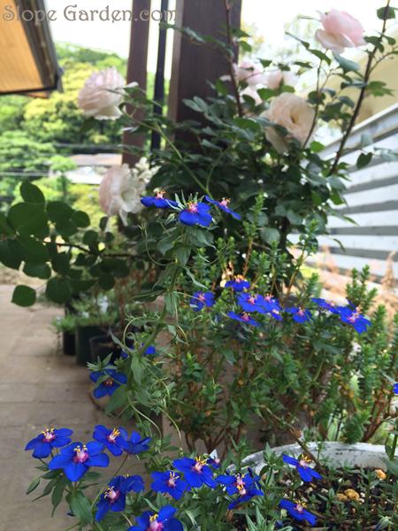 sg_blueflower_2