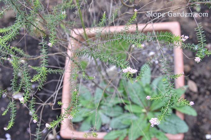 sg_rice.flower_2015april21